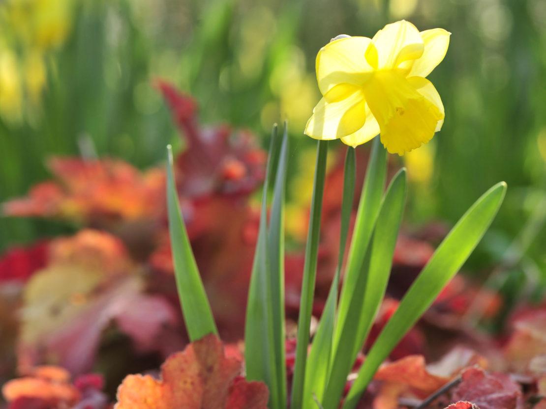 Blüte einer Narzisse in gelb