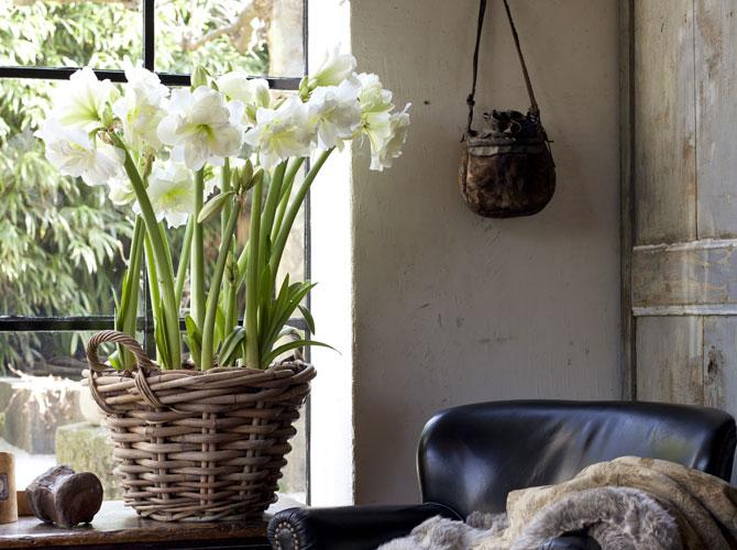 Weiße Amaryllis im Fenster