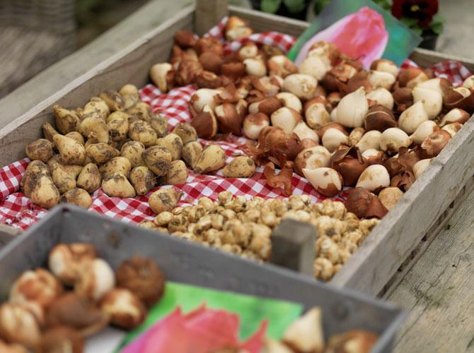 Zwiebelpflanzen und Knollenpflanzen in einer Kiste