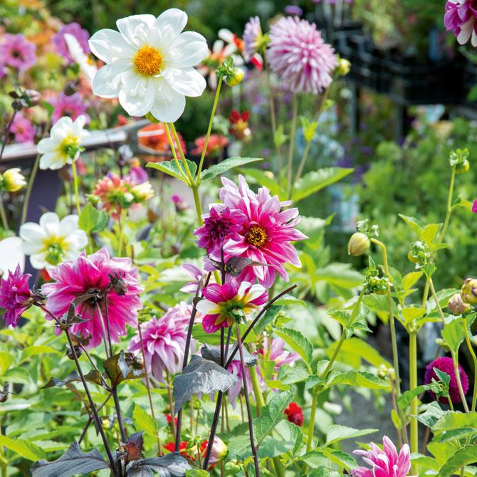 Dahlien Mix im Garten