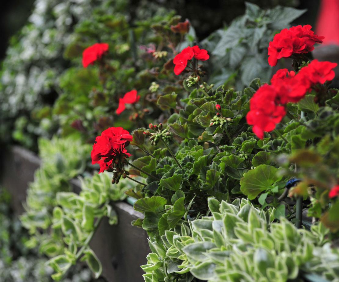Blüten einer roten Edelpelargonie