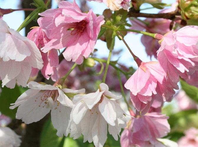 Zierkirsche-Prunus-serrulata-Ariake