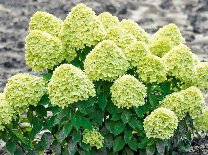 Hydrangea-Little-Lime - Eine Rispenhortensie