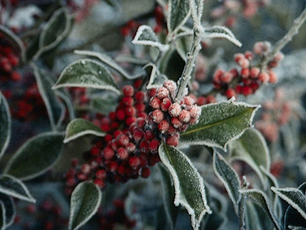Ilex im Frost