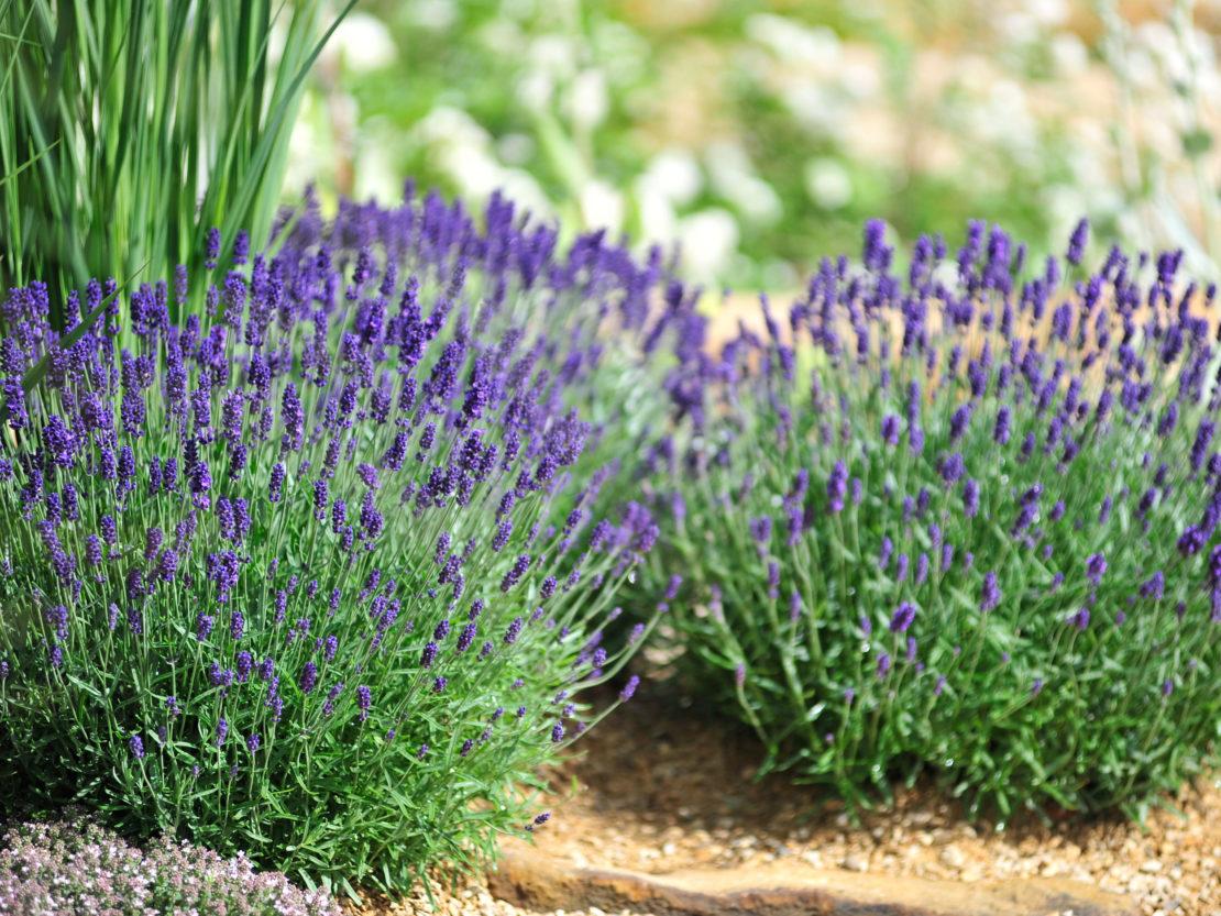 Lavendel Spätsommer zurückschneiden