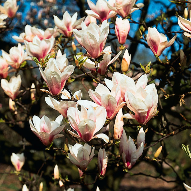 Magnolia-soulangeana - Eine Magmolie