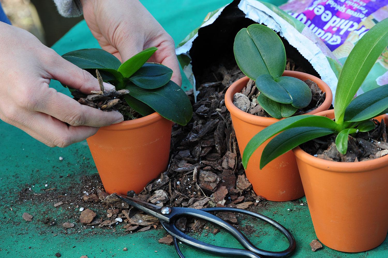 Orchideen-umtopfen