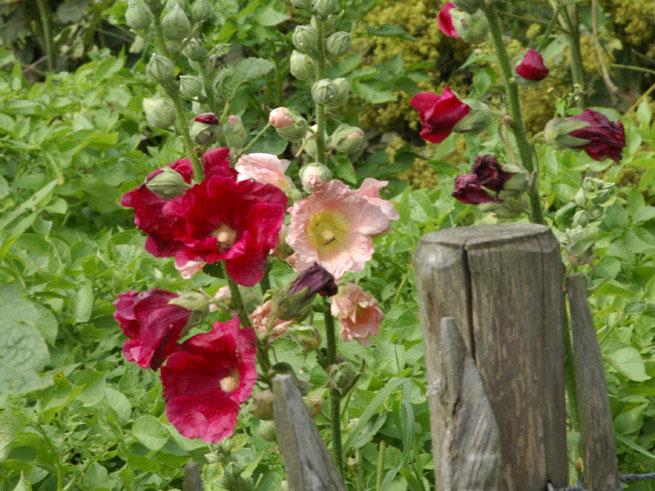 Rote und roséfarbene Stockrosen