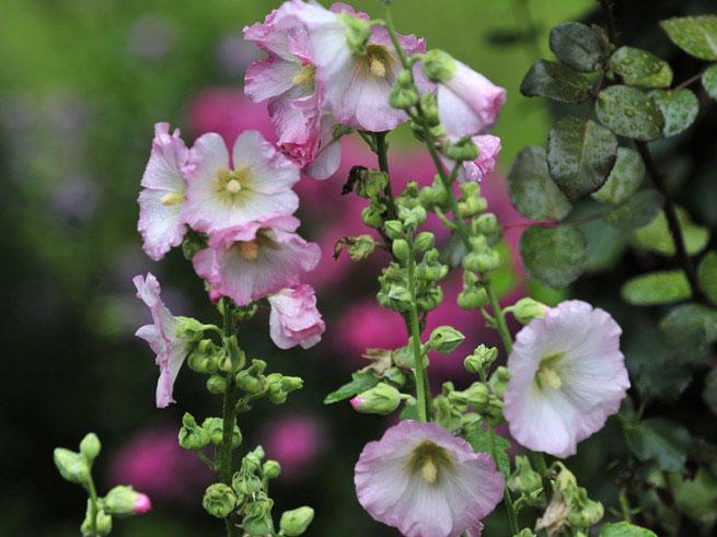 Stockrosen und Malven gibt es auch in softem Roséton