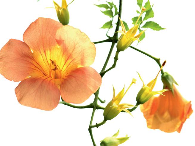blüte trompetenblume