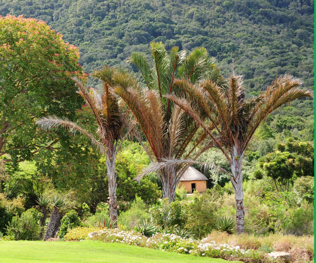 Palmen in Suedafrika