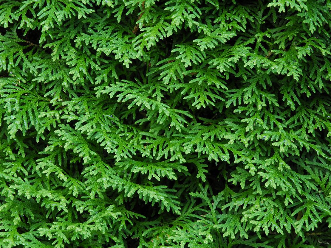 Ein Pladoyer Fur Die Thuja Hecke Dem Lebensbaum Gartenflora