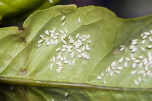 Schädlinge im Winterquartier: Weiße Fliegen