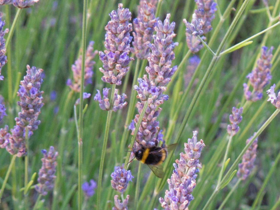 Wer Stauden für Bienen, Hummeln und andere Insekten pflanzen möchte, sollte auch an Lavendel denken.