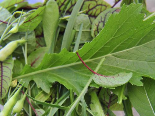 Eine Mischung verschiedener Blätter zeigt die Vielfalt der Asia-Salate