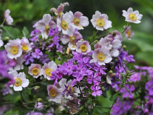 blühende Herbst-Anemonen und blühender Phlox