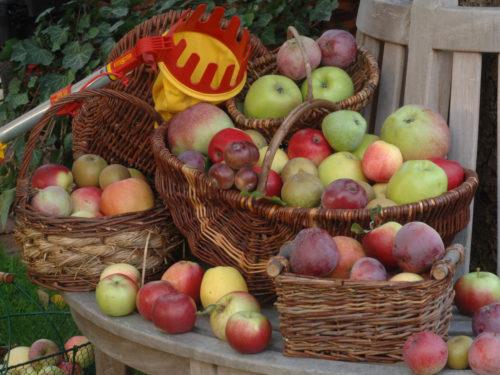 geerntete Äpfel im Korb neben einem Apfelpflücker