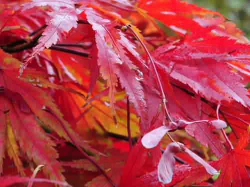 feurigrote Ahornblätter und Ahornsamen