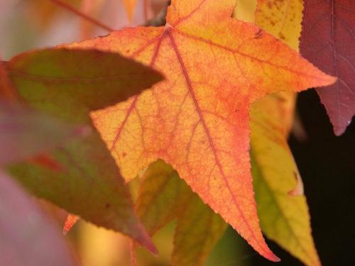 im Herbstlicht leuchtendes Blatt des Amberbaumes