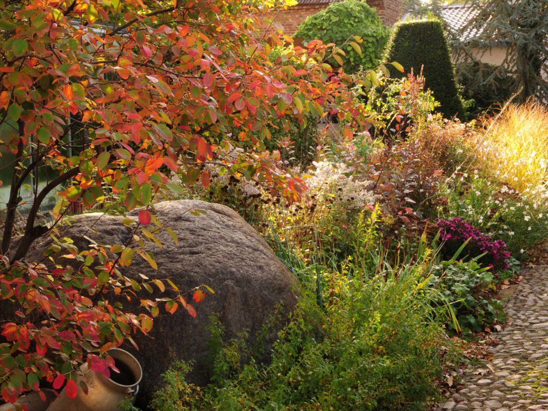 Eine Felsenbirne mit leuchtend roten Blätter am Rande eines Gartenweges