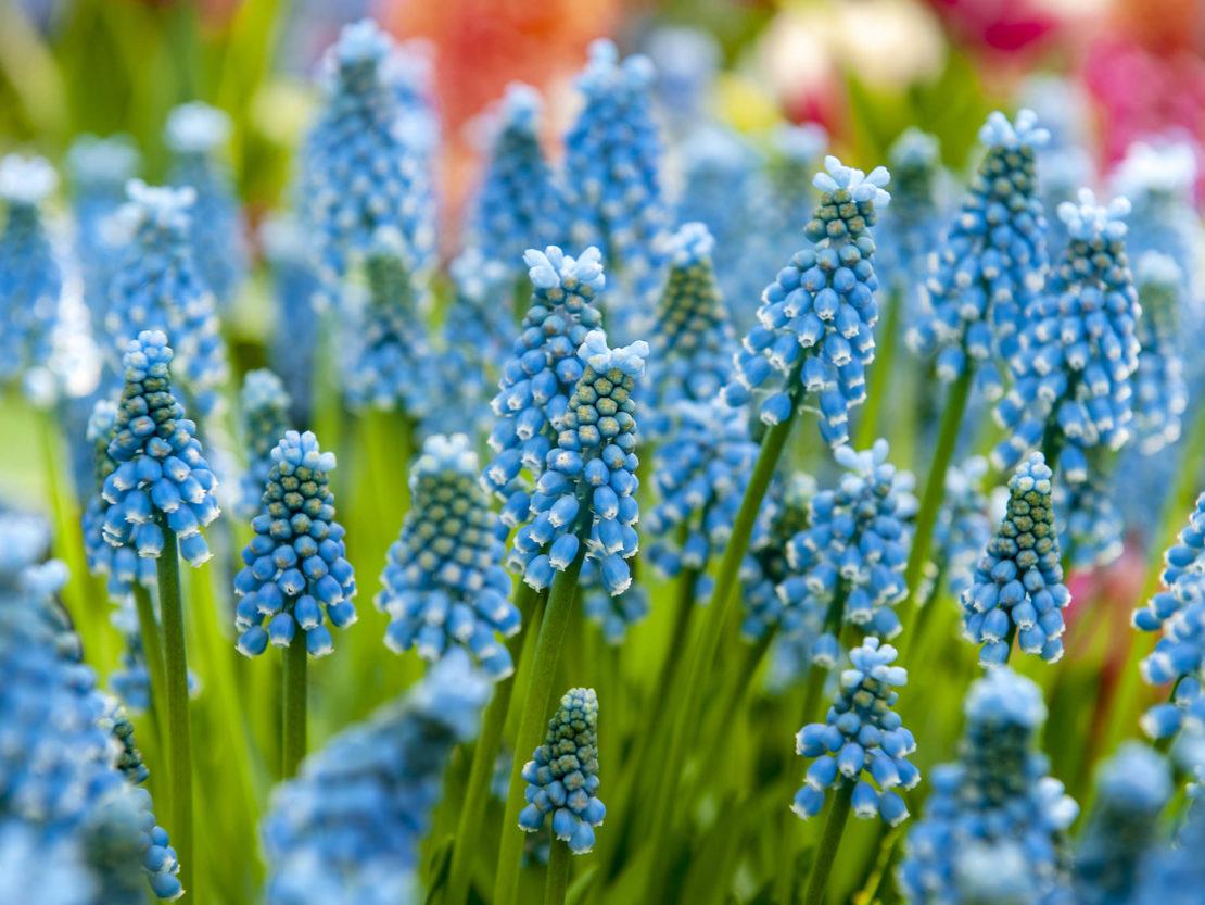 Die Blumenzwiebel des Jahres 2019 mit intensiv blauen Blüten