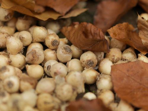 Zwiebeln der Traubenhyazinthe liegen pflanzbereit im Garten.