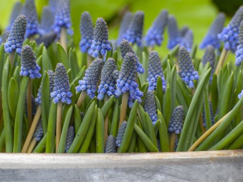 Blaublühende Muscari als Gruppe in ein Gefäß gepflanzt.