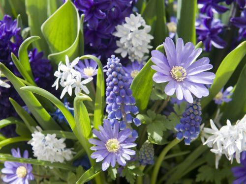Blüten in Weiß und Blautönen: blühende Muscari und Anemonen