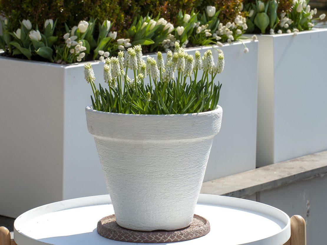 Die Blumenzwiebel des Jahres mit weißen Blüten in einem weißen Topf.