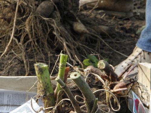 Dahlienknollen werden zum Überwintern aus dem Beet genommen