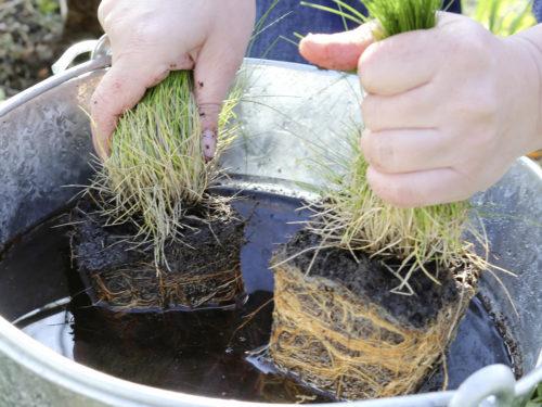 Die Wurzeln von Gräsern werden vor dem Pflanzen in einen Eimer mit Wasser getaucht.