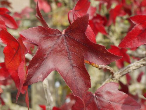 Blatt des Amberbaum in feurigem Rot