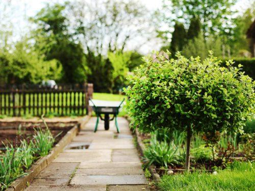kleiner Baum mit Kugelkrone im Garten