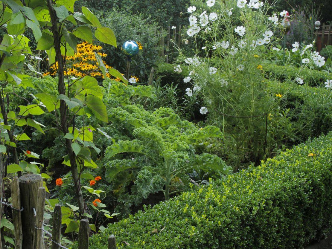 Grünkohl in einem gemischten Beet, von Buchshecke umgeben