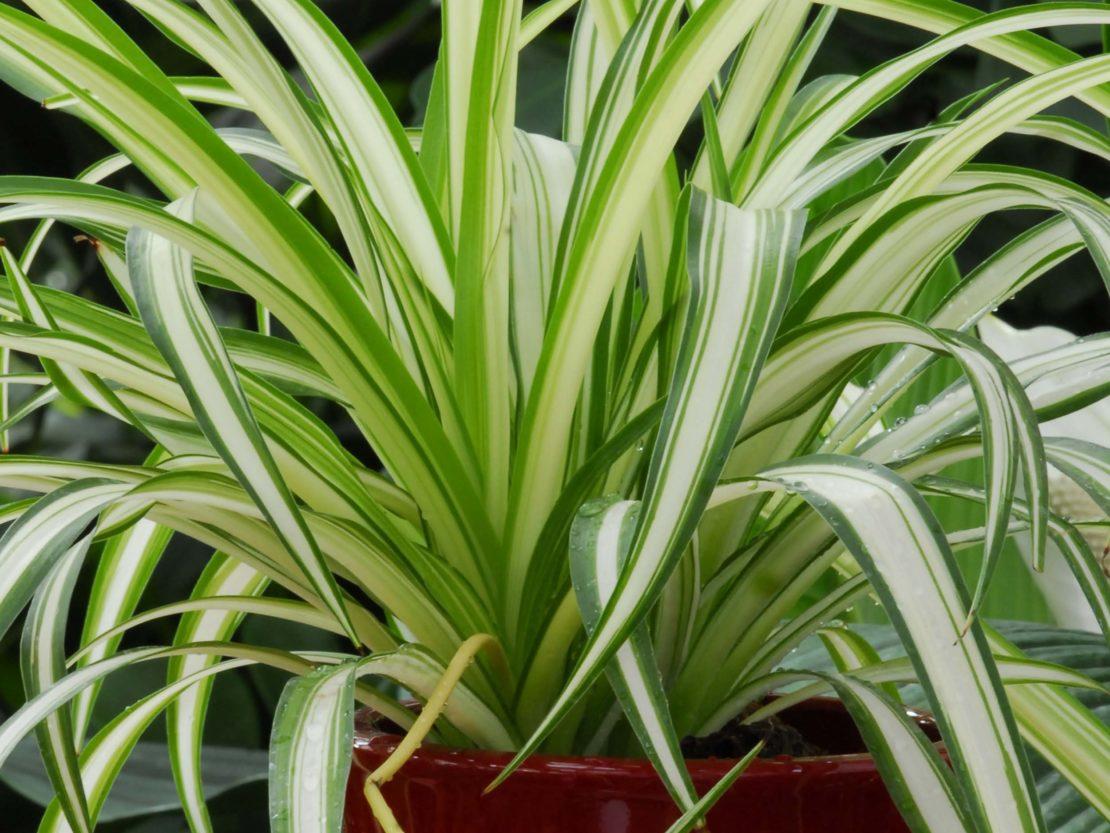 Nahaufnahme einer Grünlilie mit deutlich weiß-grün gestreiften Blättern
