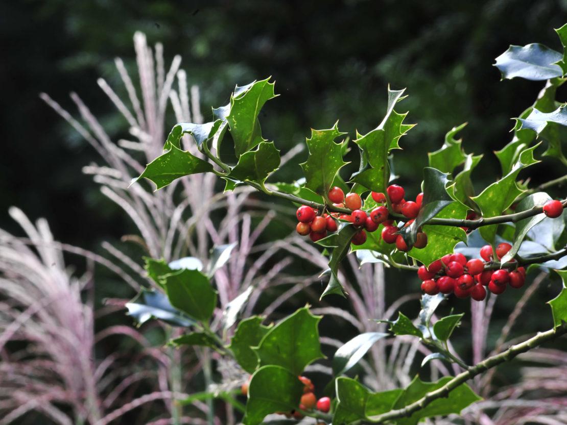 Ilex mit roten Beeren vor silbrigweiß leuchtenden Gräsern