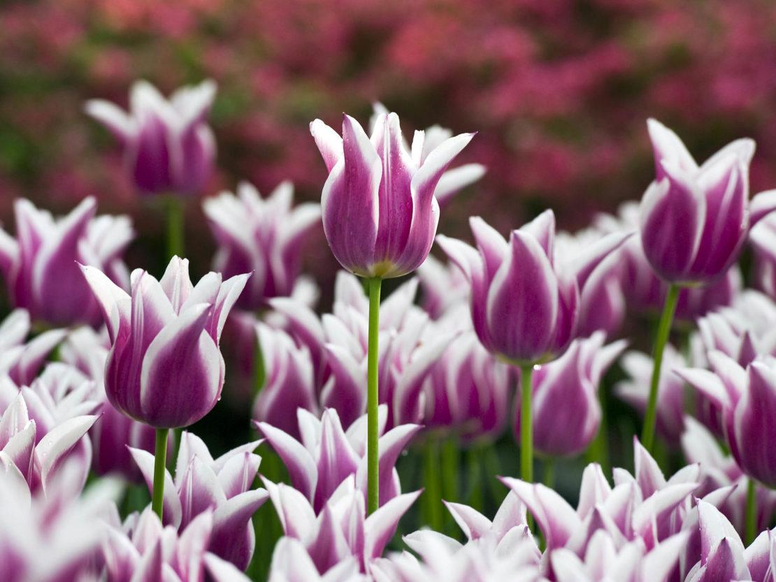 Lilienblütige Tulpe 'Ballade'