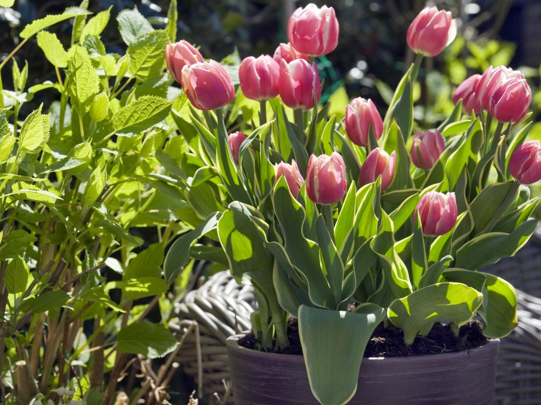 blühende Tulpen in einem großen Topf