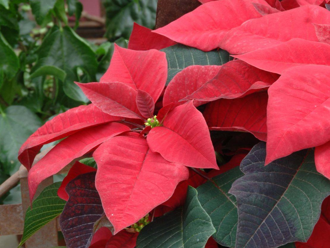 Weihnachtsstern mit roten Hochblättern