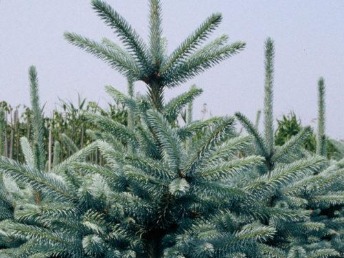 Fichte mit silbrigblauen Nadeln in Weihnachtsbaum-Quartier
