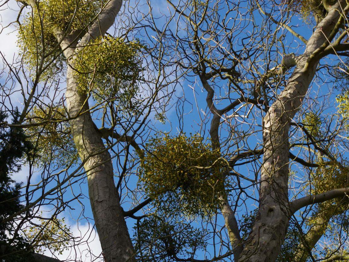 Kugelrund gewachsene Mistel in einem kahlen Baum.