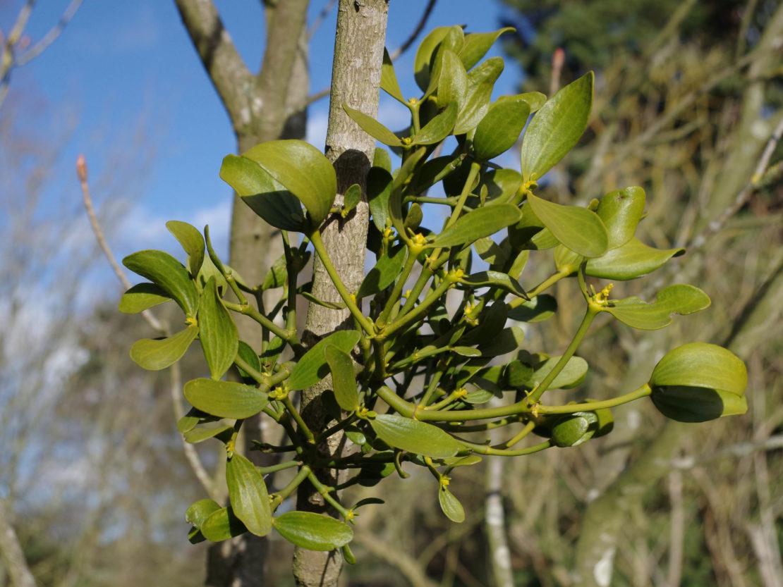 die immergrünen, ledrig glänzenden Blätter der Mistel von nahem