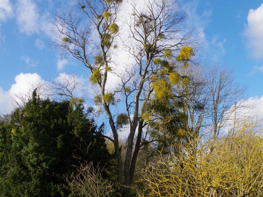 kahler hoher Baum mit vielen Misteln in einem Park