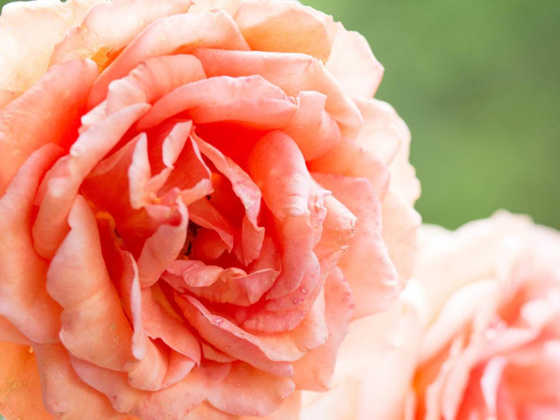 Blüte der gefüllten Rosensorte Ashram