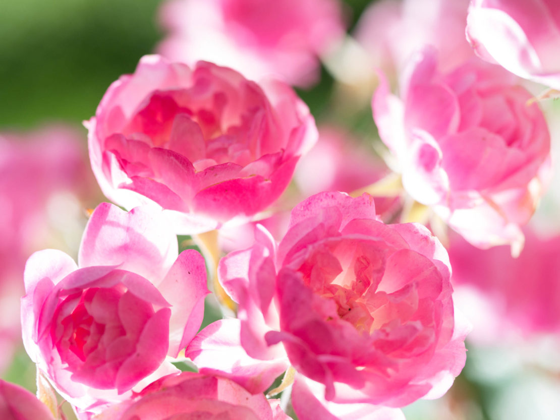 Nahaufnahme der Rosensorte Mozart's Lady mit rosafarbenen Blüten