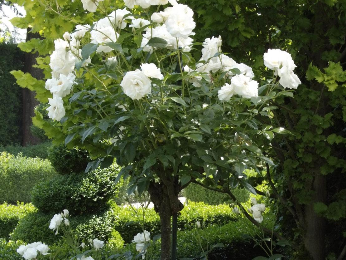 Rosenstämmchen mit weißen Blüten
