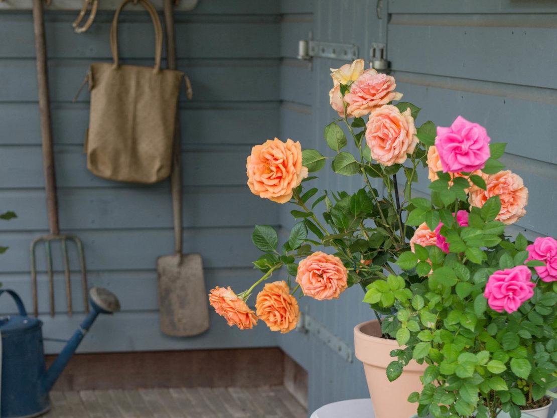 blühenden Rosen in Töpfen auf Veranda