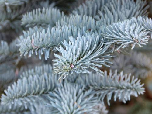 Edel-Tanne mit silbrigblauen Nadeln als Weihnachtsbaum