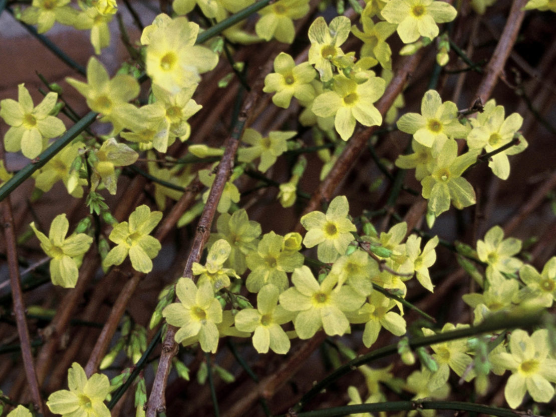 Winter-Jasmin mit vielen gelben Blüten an den dünnen Trieben