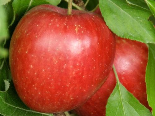 zwei Äpfel mit leuchtend roter Schale am Baum